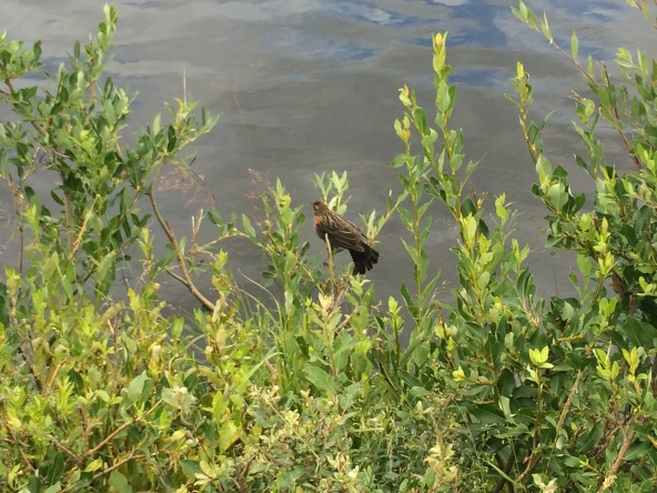 Juvenile redwing blackbird at LIly Lake