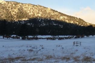 Hundreds of elk!