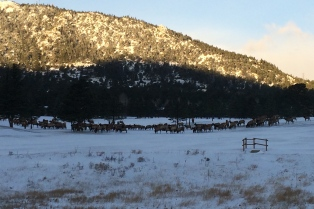 Hundreds of elk!